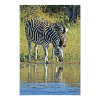 TWO ZEBRAS AT WATER'S EDGE PHOTO PRINT