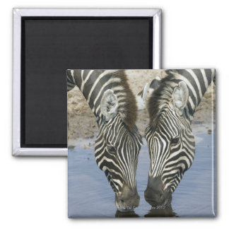 Two Zebras (Equus quagga) drinking water, Magnet