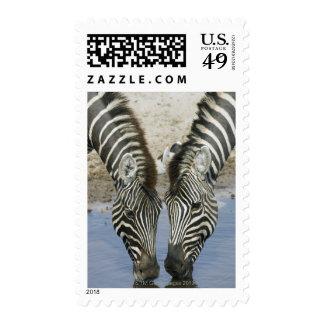 Two Zebras (Equus quagga) drinking water, Postage