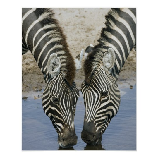 Two Zebras (Equus quagga) drinking water, Poster