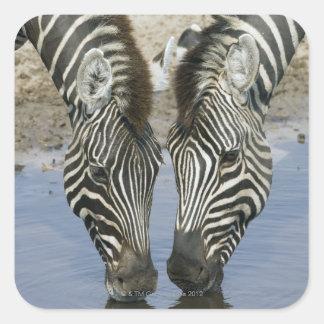 Two Zebras (Equus quagga) drinking water, Square Sticker