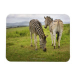 Two zebras, South Africa Rectangular Magnets