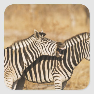 Two zebras standing in grass square sticker