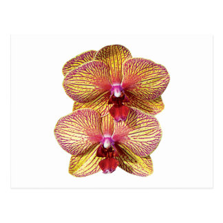 TwoYellow and Magenta Orchids Postcard