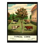 Typical Cows Post Card