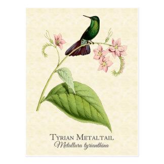 Tyrian Metal Tail Hummingbird Vintage Art Postcard
