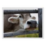 Tyrolean Cow Face through Fence Poster
