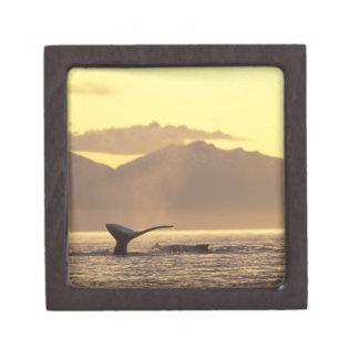 U.S.A., Alaska, Inside Passage Humpback whale at Jewelry Box