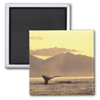 U.S.A., Alaska, Inside Passage Humpback whale at Magnet