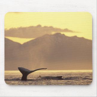 U.S.A., Alaska, Inside Passage Humpback whale at Mouse Pad