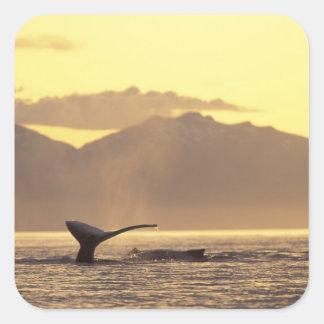 U.S.A., Alaska, Inside Passage Humpback whale at Square Sticker