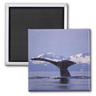 U.S.A., Alaska, Inside Passage Humpback whale Magnet