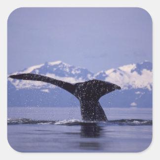 U.S.A., Alaska, Inside Passage Humpback whale Square Sticker