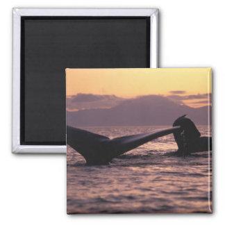 U.S.A., Alaska, Inside Passage Humpback whales Magnet
