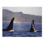 U.S.A., Alaska, Inside Passage Surfacing Orca Postcard