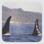 U.S.A., Alaska, Inside Passage Surfacing Orca Square Sticker