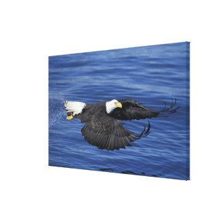 U.S.A., Alaska, Kenai Peninsula Bald eagle Canvas Print
