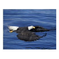 U.S.A., Alaska, Kenai Peninsula Bald eagle Postcard