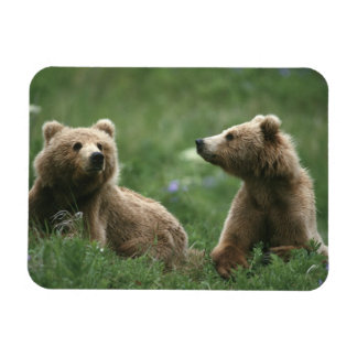 U.S.A., Alaska, Kodiak Two sub-adult brown bears Magnet