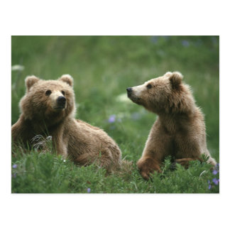U.S.A., Alaska, Kodiak Two sub-adult brown bears Postcard
