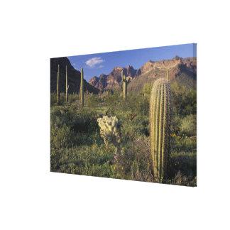 U.S.A., Arizona, Organ Pipe National Monument. Canvas Print