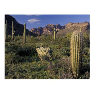 U.S.A., Arizona, Organ Pipe National Monument. Postcard