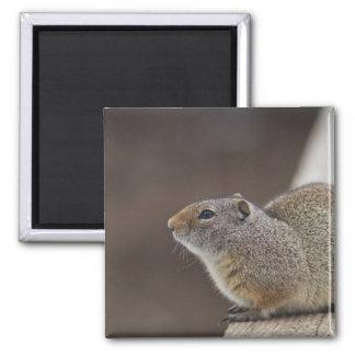 Uinta Groud Squirrel Magnet