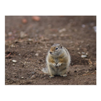 Uinta Groud Squirrel Postcard