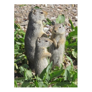 Uinta Ground Squirrel Family Postcard