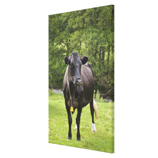 UK, England, Cumbria, The Lake District, Cow in Canvas Print