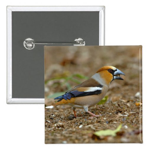 UK, England, Gloucestershire.  Hawfinch Pinback Buttons