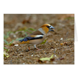 UK, England, Gloucestershire.  Hawfinch Cards