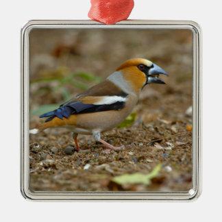UK, England, Gloucestershire.  Hawfinch Metal Ornament