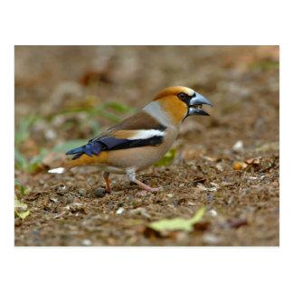 UK, England, Gloucestershire.  Hawfinch Postcards