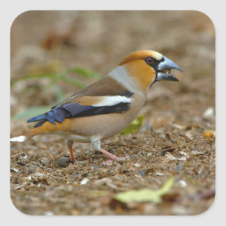UK, England, Gloucestershire.  Hawfinch Square Sticker
