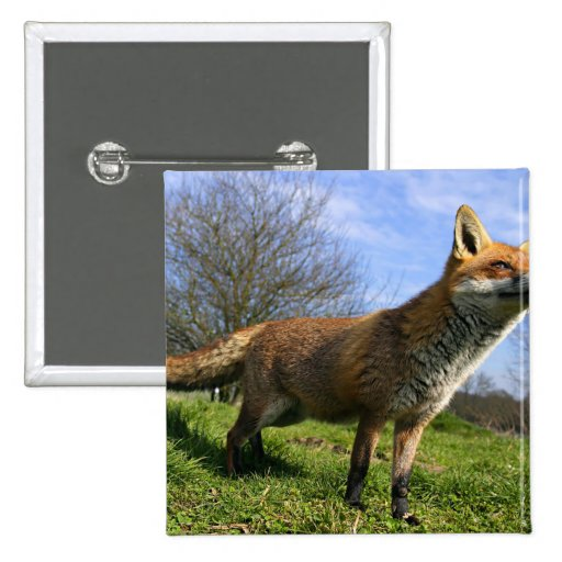 UK, England. Red Fox Vulpes vulpes) in Pinback Buttons
