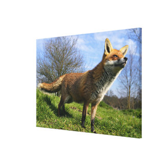 UK, England. Red Fox Vulpes vulpes) in Canvas Print