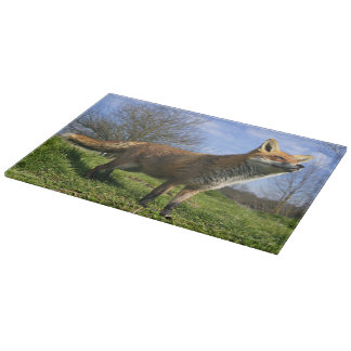 UK, England. Red Fox Vulpes vulpes) in Cutting Board