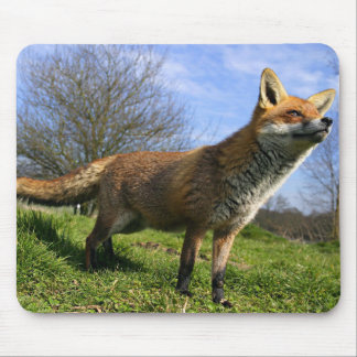 UK, England. Red Fox Vulpes vulpes) in Mouse Pad