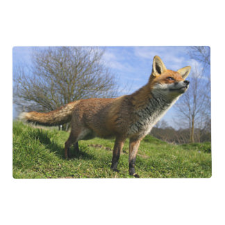 UK, England. Red Fox Vulpes vulpes) in Placemat
