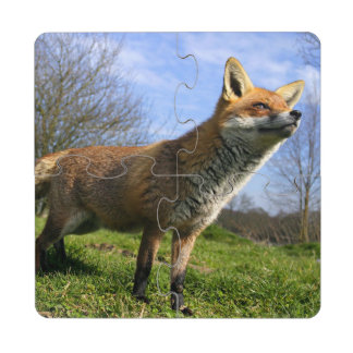 UK, England. Red Fox Vulpes vulpes) in Puzzle Coaster