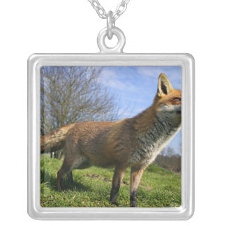 UK, England. Red Fox Vulpes vulpes) in Silver Plated Necklace