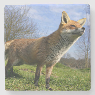 UK, England. Red Fox Vulpes vulpes) in Stone Coaster