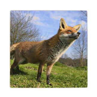 UK, England. Red Fox Vulpes vulpes) in Wood Coaster