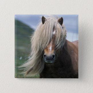 UK, Scotland, Shetland Islands, Shetland pony Button