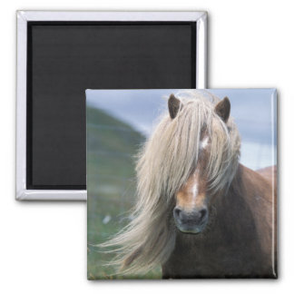UK Scotland Shetland Islands Shetland pony Refrigerator Magnet