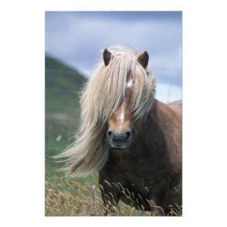 UK Scotland Shetland Islands Shetland pony Photograph