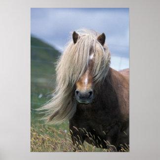 UK Scotland Shetland Islands Shetland pony Poster