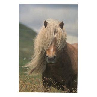 UK Scotland Shetland Islands Shetland pony Wood Print