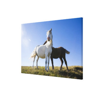 UK, Wales, Brecon Beacons NP. Wild Pony Stretched Canvas Print